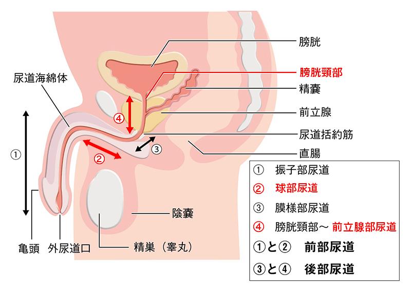 膀胱頸部、前立腺部尿道、球部尿道